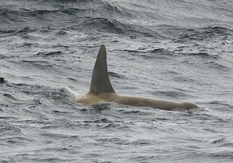 orque-blanche-2