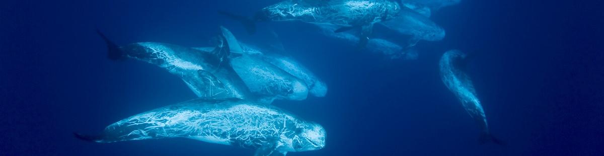sanctuaire pelagos en danger