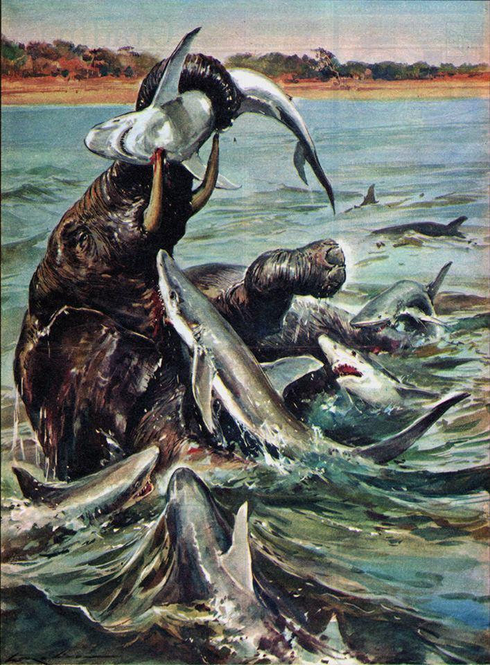 Walter Molino : des requins qui attaquent un éléphant